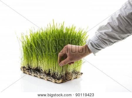 Man Picks Homegrown Wheatgrass