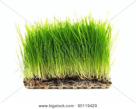 Homegrown Wheatgrass