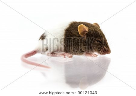 Fancy Mice Or Rat