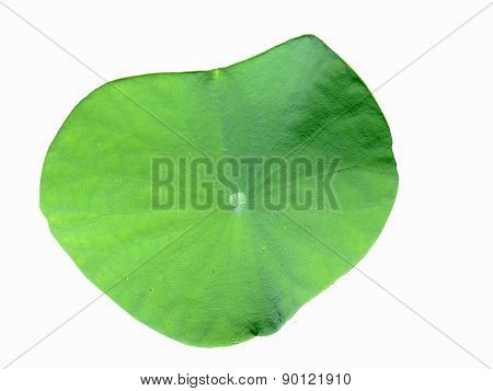 The Green leave of Lotus on the White Background