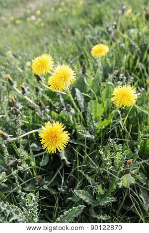 Yellow Blooming Common Dandelion Plants From Close
