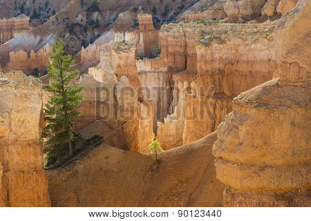 Pine Shines Against Bryce Canyon Cliffs