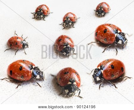 Set Of Ladybugs After Hibernation In Indoor