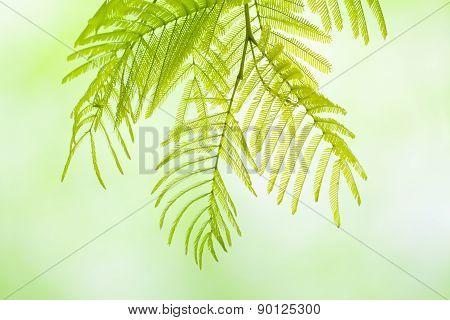 Mimosa Twig