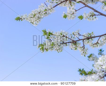 Spring blossoming buds on blue sky background, flowers and white