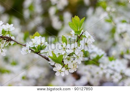 Spring blossoming buds, flowers