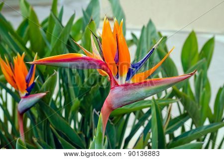 Colorful, Exotic Strelitzia Flower