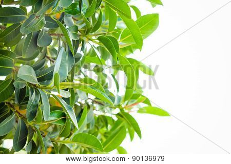 Many Green Leaves