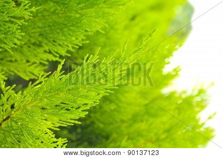 Evergreen Decorative Bush,