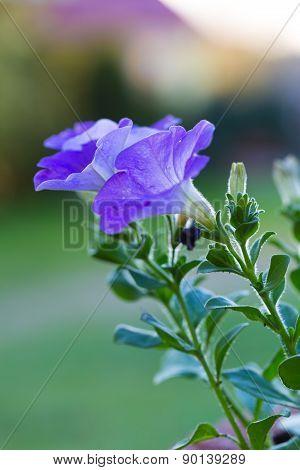 Beautiful Blooming Blue Petunia Flower