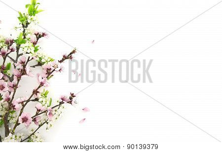 Blooming Sakura, Spring Flowers On White Background With Space For Greeting Message. Mother's Day An