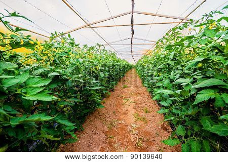 Interior Of The Greenhouses In Which Grows Organically Grown Vegetables
