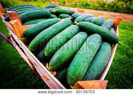 Young Cucumber Freshly Picked Stacked In Crates Ready For Sale