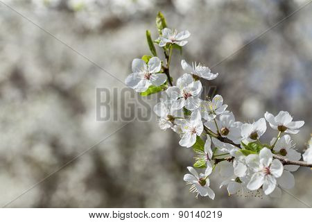 Sprig with flowers cherry plum.