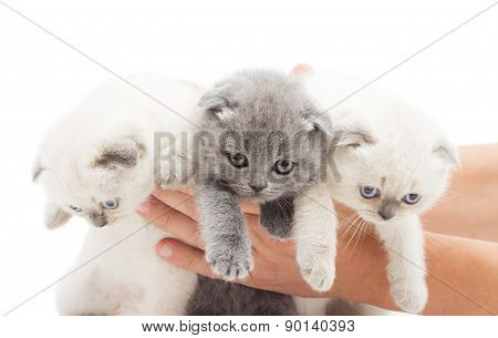 Three British Lop-eared Kitten