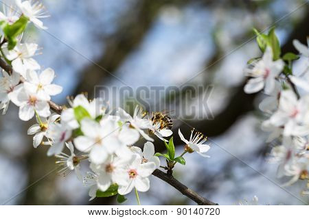 The bee collects nectar from flowers cherry plum.