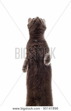 Cat Stands On Its Hind Legs