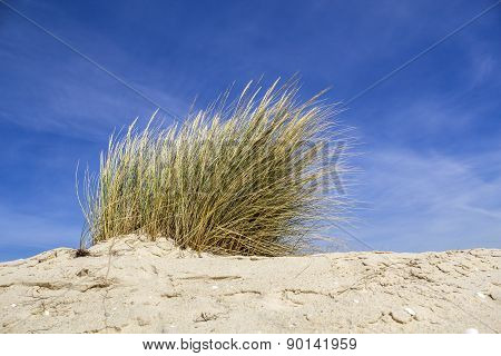 Ammophila Arenaria, A Species Of Grass Known By The Common Names European Marram Grass