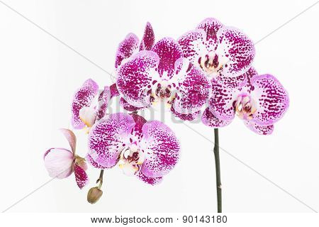 Dark Purple And White Moth Orchids Close Up
