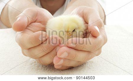 Yellow Chicken In Human Hands