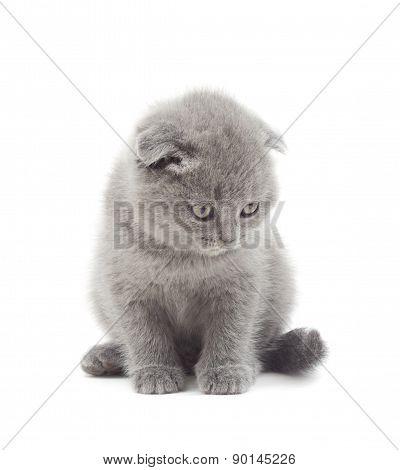 British Lop-eared Kitten  Looking