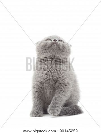 British Lop-eared Kitten Funny Looking Up