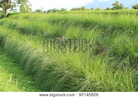 Vetiver field