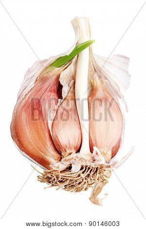 Garlic bulb. Macro shot.