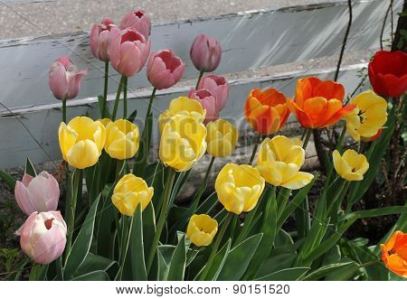 Bowed Tulips