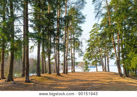 High Evergreen Pine Trees Near A Lake In The Spring