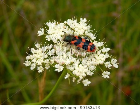 Soldier or Checkered Beetle