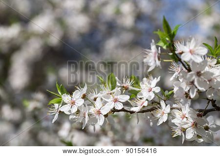 Sprig with flowers cherry.