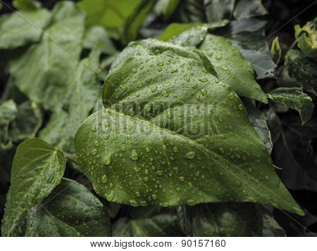 Green Ivy Hedera With Glossy Leaves