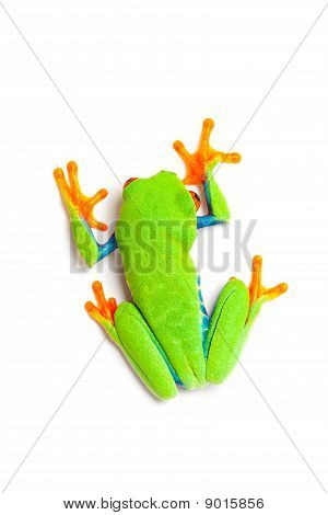 Green Frog Top View Isolated On White