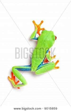 Frog From Above Walking Isolated On White