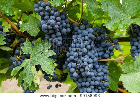 Closeup To Red Wine Vineyard Grapes