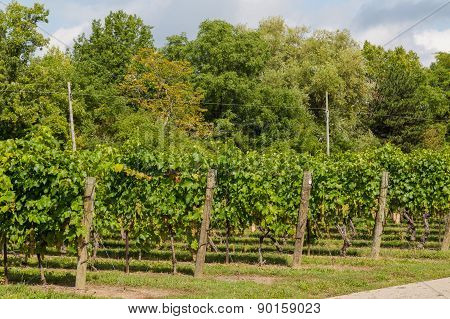 Side View Of Grape Plantations