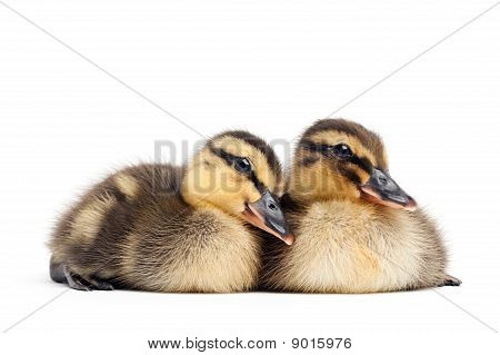 Two Ducklings Isolated On White