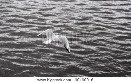 Black-headed Gull Flying Away
