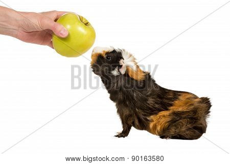 Guinea Pig Sniffing An Apple