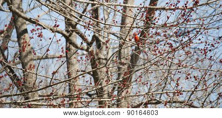Cardinal Amongst Red Blossoms