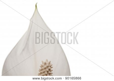 White flower close-up isolated on white background