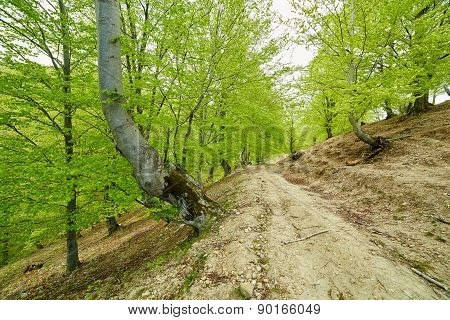 Country Road Trough A Beech Forest
