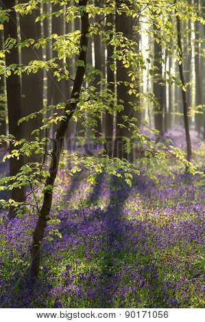 Sunshine In Spring Forest With Hyacinth Flowers