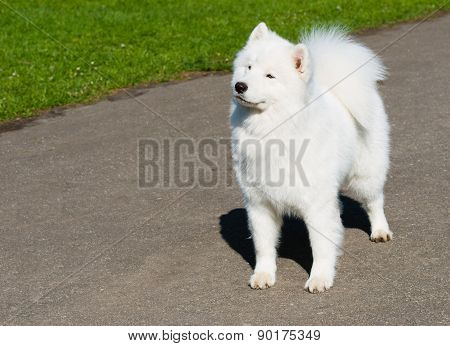 Samoyed waits.
