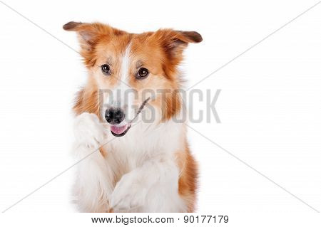 Red Border Collie Dog Portrait, Isolated On White