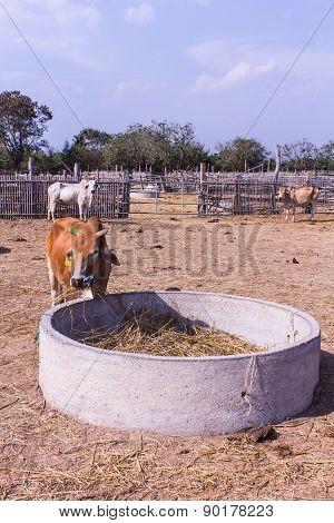 Thai Cows Eating In The Farm