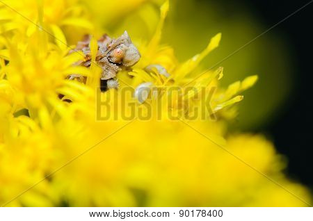 Jagged Ambush Bug In Yellow Flower Bloom