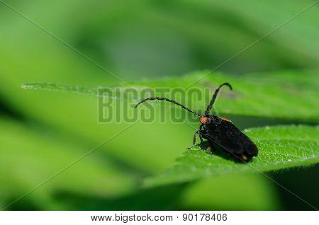 Black Bug On A Green Leaf