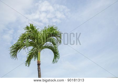 Palm Tree against pale blue sky